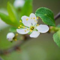 цветущие сады :: Ольга Осипчук