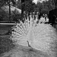 белая курица :: Petr Popov