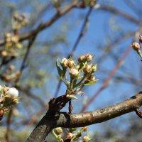 Почти цветы яблони :: esadesign Егерев