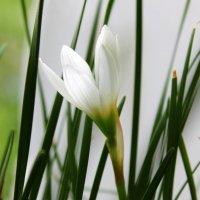 Цветок западного ветра. :: Валентина ツ ღ✿ღ