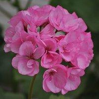 Герань махровая розовая :: Nadin ***