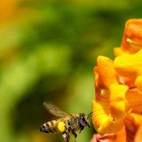 Пчёлка и цветок :: Александр Деревяшкин
