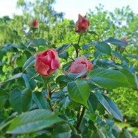 """""""Первые розы раскрыли бутоны. Робко разносится их аромат..."""" :: Galina Dzubina"""