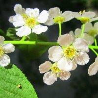 Черёмуха цветёт . :: Мила Бовкун