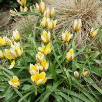 Тюльпан многоцветный :: Елена Павлова (Смолова)