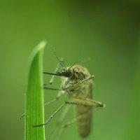 Комар обыкновенный :: Вика К.