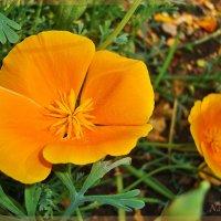 Оранжевая нежность :: Лидия (naum.lidiya)