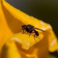 муха на желтом :: olgert6969