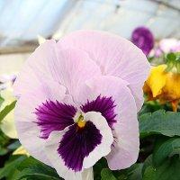 Viola x wittrockiana White with Blotch :: laana laadas