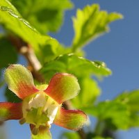 Растение для крыжовишного варенья :: Владимир Гилясев