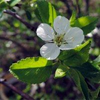 Вишнёвый цветочек. :: bemam *
