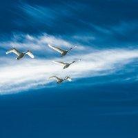 Лебеди над заливом :: Игорь Вишняков