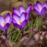 Первоцветы, крокусы 3 :: Юрий