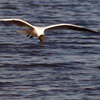 Чайка :: kolyeretka