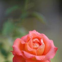 Роза :: mirtine