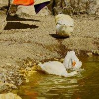 купание гусей. :: petyxov петухов