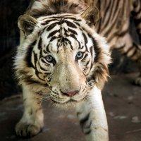 Тигр :: Алексей Сазонов