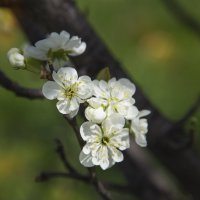 цветение :: Эльмира Суворова