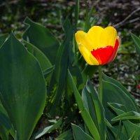 Тюльпан :: Геннадий Хоркин