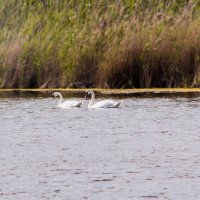 Кущёвские лебеди :: Светлана Скирта