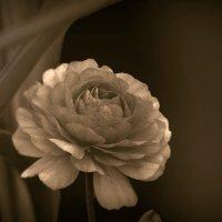 Лютик садовый :: Nina Streapan
