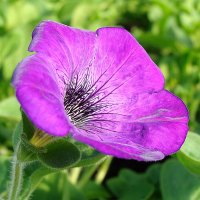 Petunia Hybrida Sanguna Atomic Blue :: laana laadas