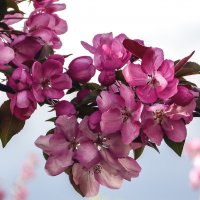 Седьмой день цветения коралловой яблони 1 :: Игорь Егоров
