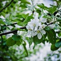 Цветущая весна :: Дарья Селянкина