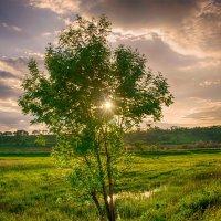 одиноко дереву на закате дня... :: Ксения Довгопол