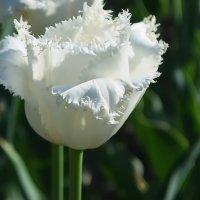 Белый тюльпан :: Ростислав