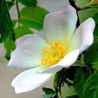 Дикая роза :: Alexander
