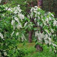 Лесной черёмухой раздумья соловьёв... :: Лесо-Вед (Баранов)