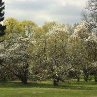 Магнолии в цвету. Ботанический сад :: Gennadiy Karasev