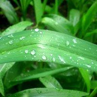 Капельки свежести  после дождя и каждая из них неповторима. :: Елена Семигина