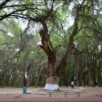 Молодые деревья тянутся своими верхушками  к КИЕЛI АГАШ – против солнца. :: Anna Gornostayeva