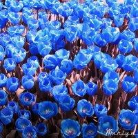 Море синих тюльпанов на удачу ! :: Mariya laimite