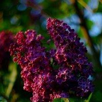 Сиреневый цвет :: Юрий Анипов