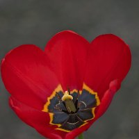 Сердце тюльпана... :: Владимир Питерский