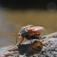 Майский жук :: Олег Плотников