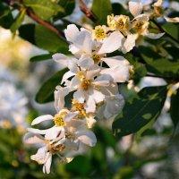 Цвет японской айвы :: Ростислав