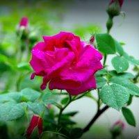 Цветенье роз :: Андрей Заломленков