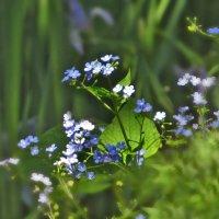 И цветом неба он цветет, где смерти нет и нет забвенья... :: Наталья Джикидзе (Берёзина)