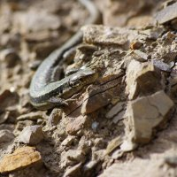 Скальная ящерица :: Andrad59 -----