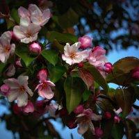 Северная магнолия (яблоня) :: Натали Акшинцева