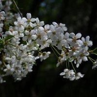 Вишни цвет... :: *MIRA* **