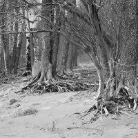 Деревья на финском заливе :: Мария Кондрашова