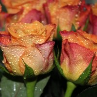 Сочные розы :: Наталия Носова