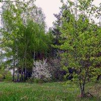 Цветущее дерево :: Юрий Стародубцев