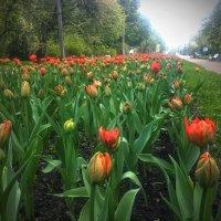 Тюльпаны :: Юрий Тихонов