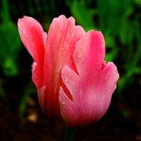 Тюльпан и весенний дождь :: Damir Si